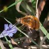 Dark-edged Bee-fly, Bombylius major 8446