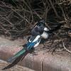 Magpie courtship, Pica pica 8519