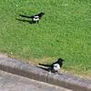 Magpie courtship, Pica pica 8527