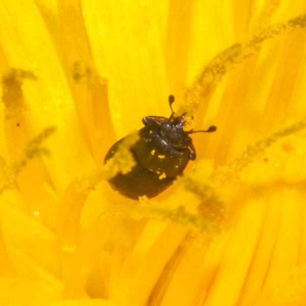 pollen beetle, Meligethes aeneus 8633