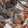 Common Lizard, Zootoca vivipara 8415