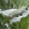 Mullein Moth larva, Shargacucullia verbasci 8509