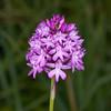 Pyramidal Orchid, Anacamptis pyramidalis 8678