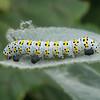 Mullein Moth larva, Shargacucullia verbasci 8504