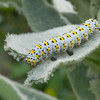 Mullein Moth larva, Shargacucullia verbasci 8510