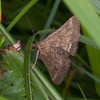 Straw-barred Pearl, Pyrausta despicata 8551