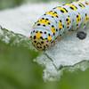 Mullein Moth larva, Shargacucullia verbasci 8507