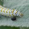 Mullein Moth larva, Shargacucullia verbasci 8506