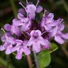 Wild Thyme, Thymus serpyllum 8565