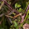 Tiger Craneflies mating, Nephrotoma flavescens  8712
