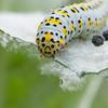 Mullein Moth larva, Shargacucullia verbasci 8508