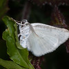 Common White Wave, Cabera pusaria 3204