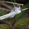 Common White Wave, Cabera pusaria 3216