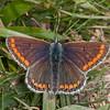 Brown Argus, Aricia agestis 3132