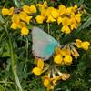 Green Hairstreak, Callophrys rubi 3101