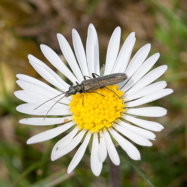 False Oil Beetle, female, Oedemera nobilis 3122