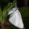 Common White Wave, Cabera pusaria 3207