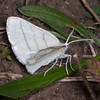 Common White Wave, Cabera pusaria 3210