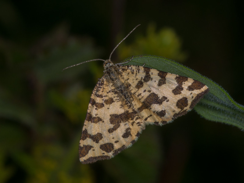 Speckled Yellow, Pseudopanthera macularia 3196