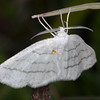 Common White Wave, Cabera pusaria 3213