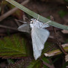 Common White Wave, Cabera pusaria 3211