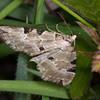 Green Carpet, Colostygia pectinataria 3172