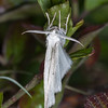 Common White Wave, Cabera pusaria 3209