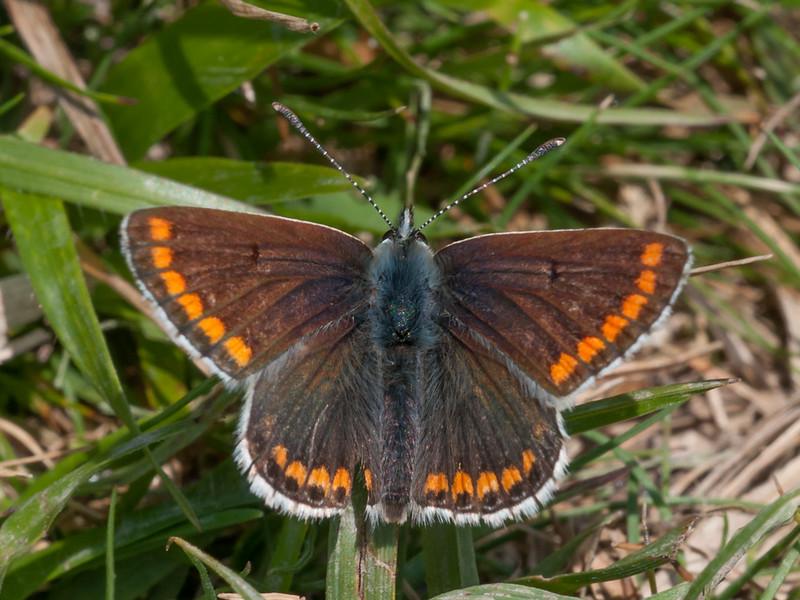 Brown Argus, Aricia agestis 3134