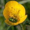 Leaf beetle, Cryptocephalus species 3164