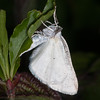 Common White Wave, Cabera pusaria 3205
