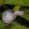 Kentish Snail, Monacha cantiana 3219