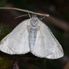 Common White Wave, Cabera pusaria 3215