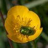 Leaf beetle, Cryptocephalus species 3160