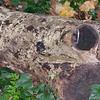 Silver Birch, Betula pendula 5650