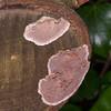 Silverleaf Fungus, Chondrostereum purpureum 5647