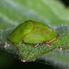 Green Tortoise Beetle, Cassida viridis 3545