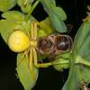 Crab Spider, Misumena vatia with Honey bee, Apis mellifera 3420