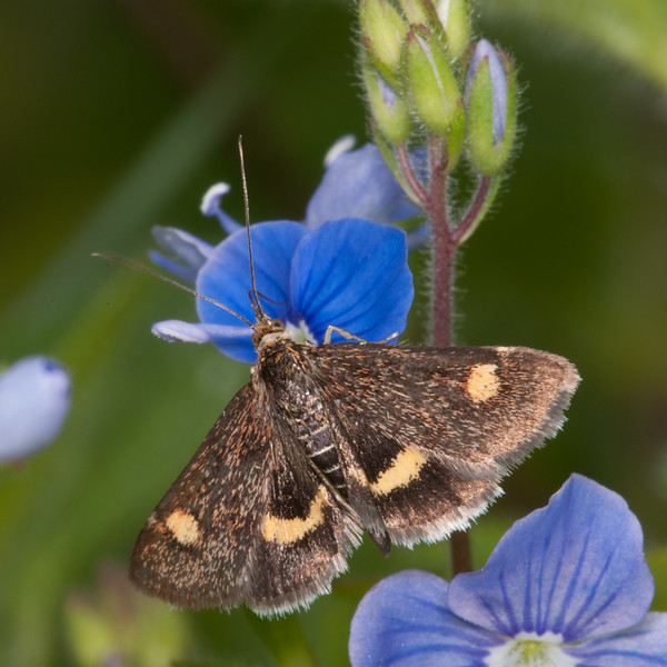 Small Purple and Gold, Pyrausta aurata 3406