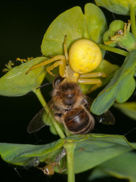 Crab Spider, Misumena vatia with Honey bee, Apis mellifera 3421