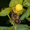 Crab Spider, Misumena vatia with Honey bee, Apis mellifera 3421