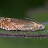 Bright Bell, Eucosma hohenwartiana 3455