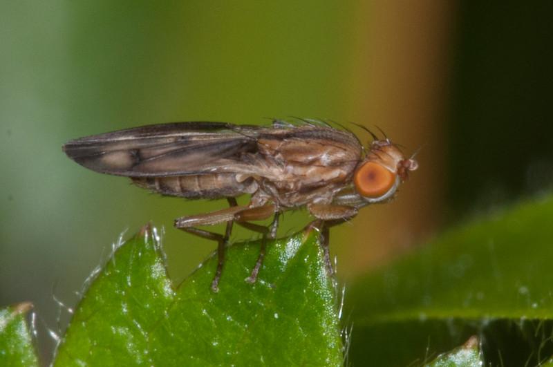 Opomyzid fly, Opomyza germinationis 3483