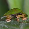Green Tortoise Beetle, Cassida viridis 3547