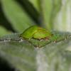 Green Tortoise Beetle, Cassida viridis 3546