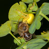 Crab Spider, Misumena vatia with Honey bee, Apis mellifera 3423