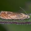 Bright Bell, Eucosma hohenwartiana 3456