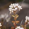White Stonecrop, Sedum album 9470