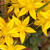 Biting Stonecrop, Sedum acre yellowflora 9275