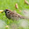 Tree Sparrow, Passer montanus 9253