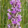 Northern Marsh Orchid, Dactylorhiza purpurella pinkflora ]9139